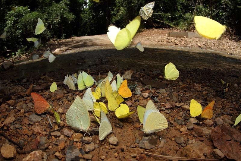 シロチョウの吸水集団