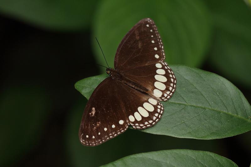 Ethope diademoides diademoides