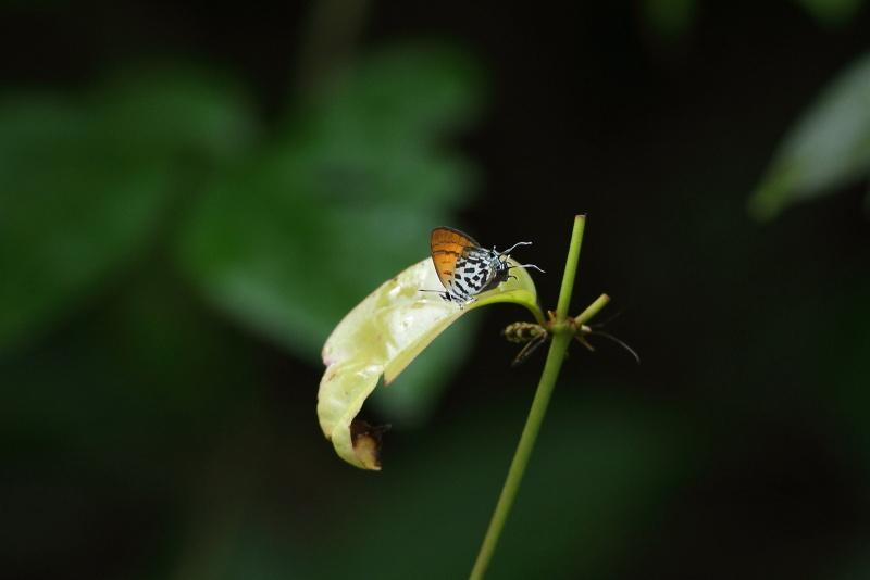 Drupadia rufotaenia archbaldi