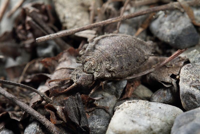 ツノトンボの幼虫