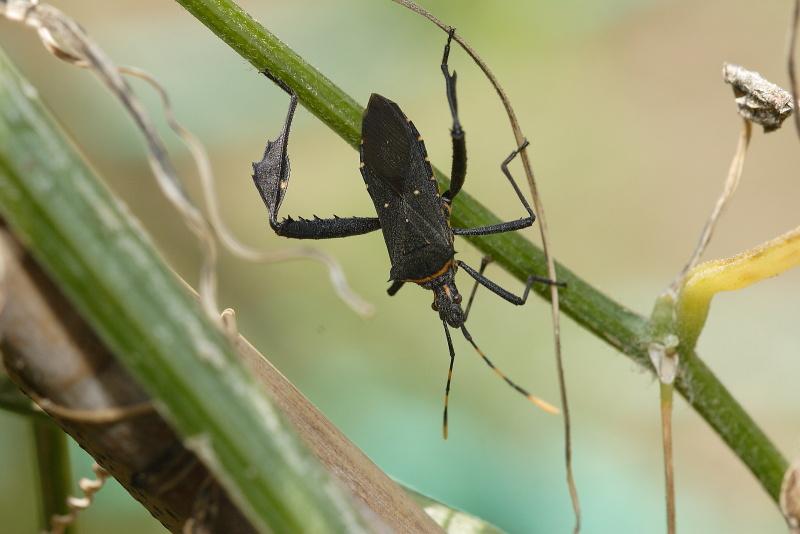 アシビロヘリカメムシ