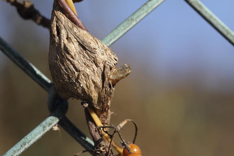 ヒメアトスカシバの蛹殻
