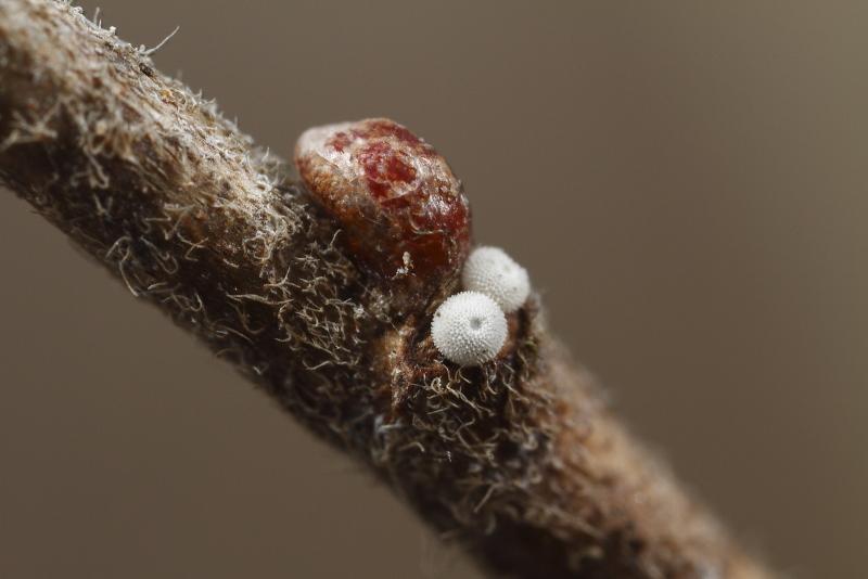 ミドリシジミ越冬卵