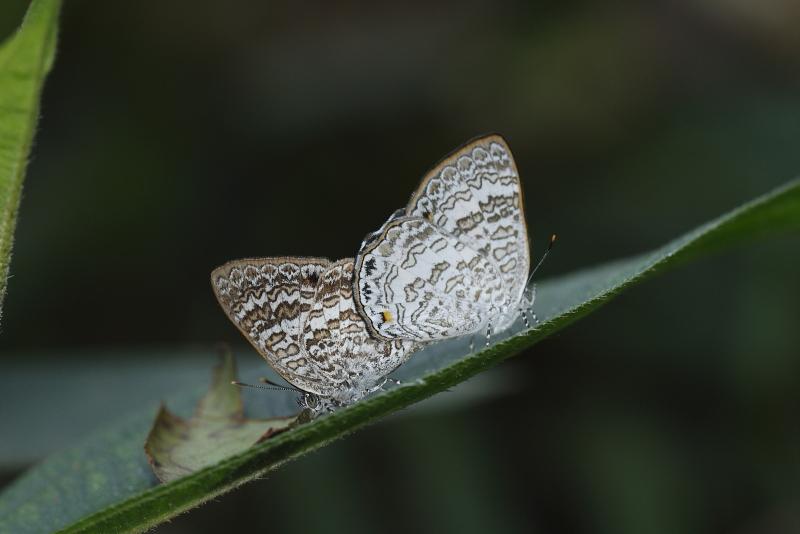 Poritia erycinoides