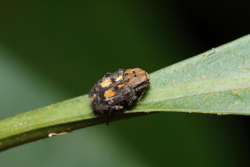 ヒラタハナムグリの一種