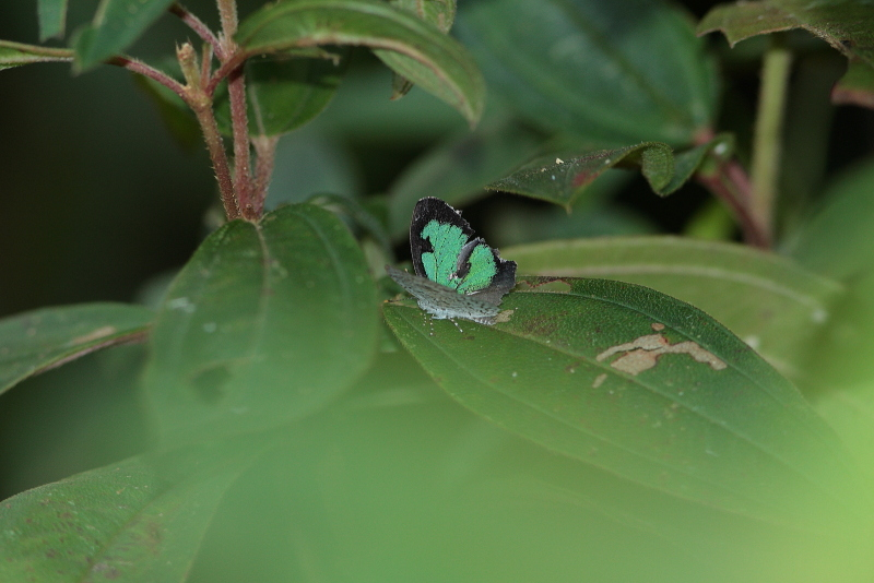 Cyaniriodes libna