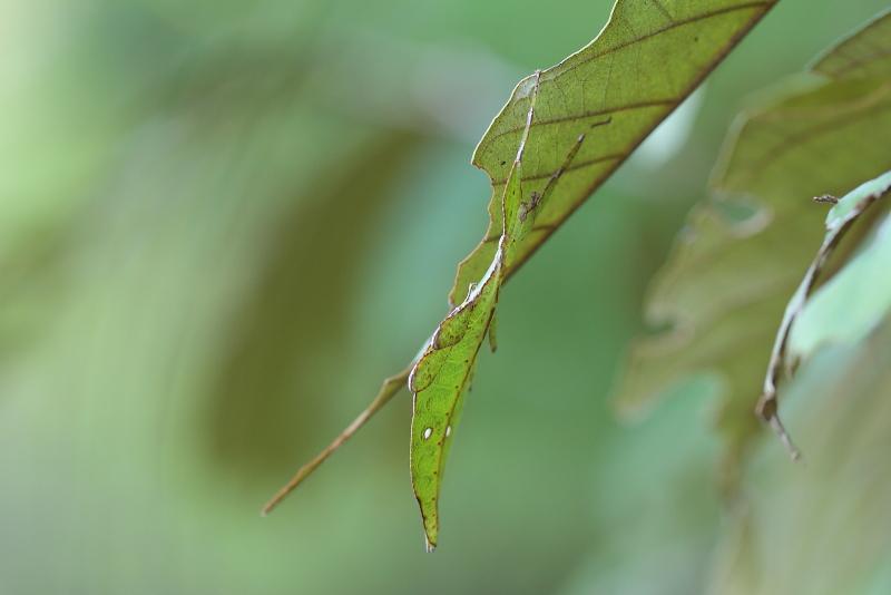 コノハムシの一種