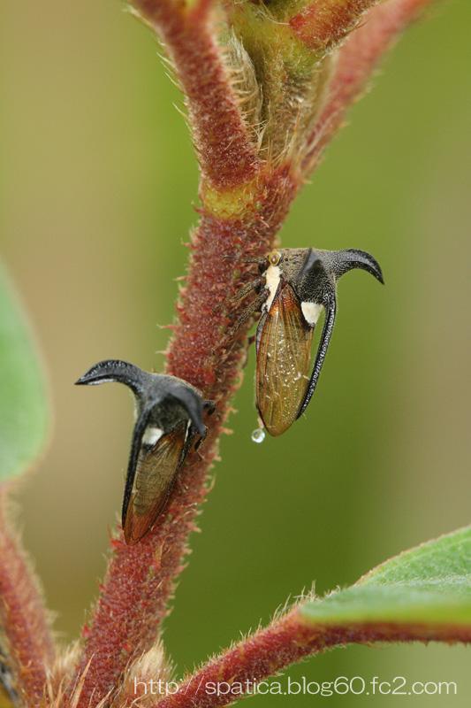 Leptocentrus sp.