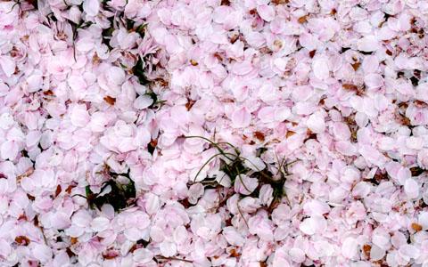 さくらの花びらの絨毯