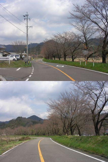 根尾の桜状況