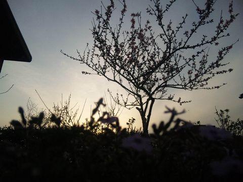 桃梅芝桜1