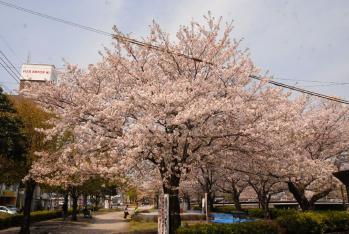 120409桜5_035