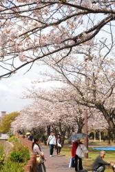 120409桜3_035