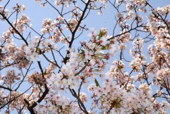 120409桜1_035