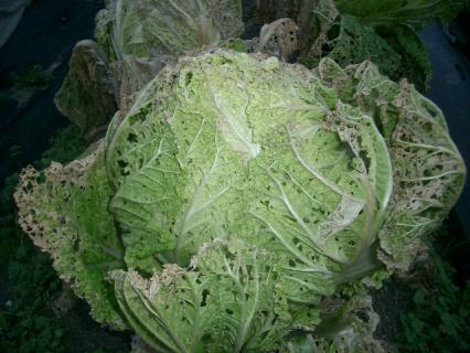 レース編み白菜