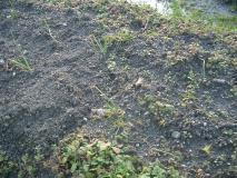 草に消えそうな玉ねぎたち 2008-01-24 16-14-21