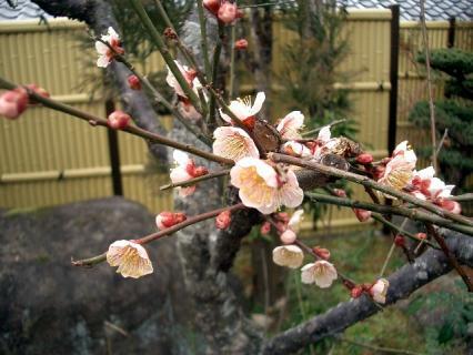 梅の花が咲いた! 640x480