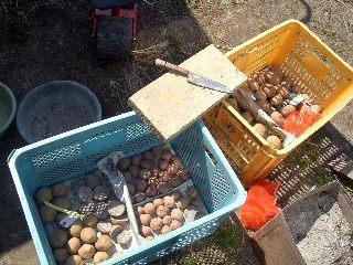 ジャガイモの種芋を切るぞ!