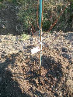 桃を植えた!