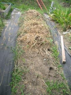 不耕起栽培でブロッコリーを植える