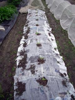 白菜、キャベツの畝に間借り編