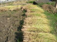 手で刈った稲は最後に手で機械に入れます