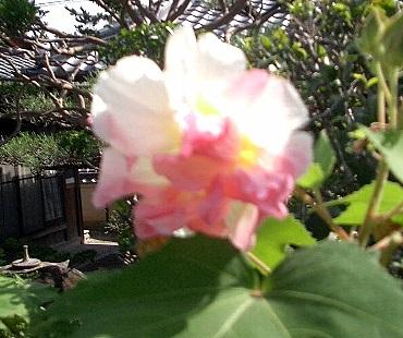 最初は白い花が…だんだんピンクから赤に変わります