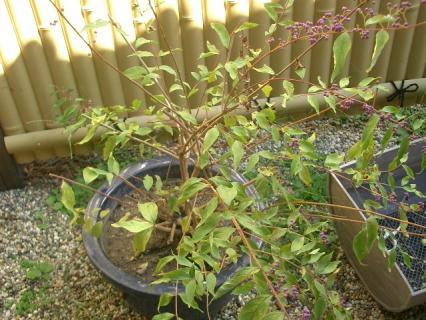 鉢植えにされたコムラサキシキブ