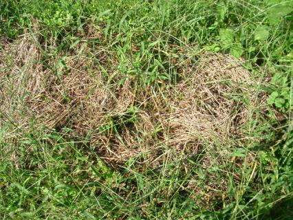刈り草も雑草の進出にはまいっているようだ