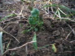 刈り草の上から土をのせた