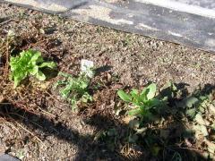 チシャとチンゲン菜の間に除虫菊