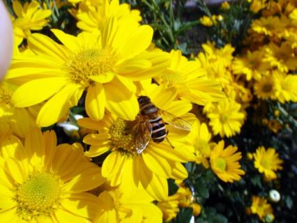 ミツバチってこんなんだっけ?