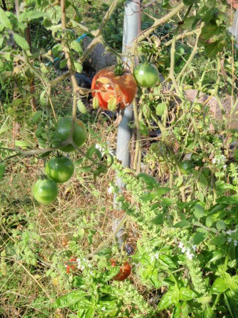 根性トマト
