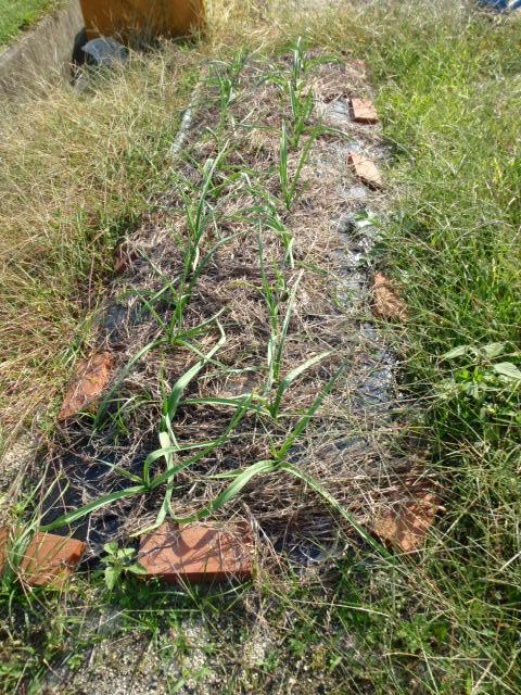 ニンニクの芽が出た!こんなに長く(笑)