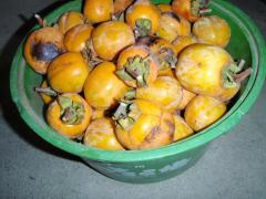 渋柿がいっぱい…