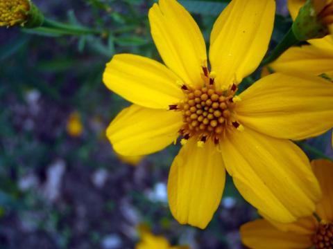 レモンマリーゴールドの花