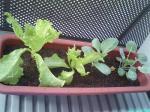 プチ菜園。