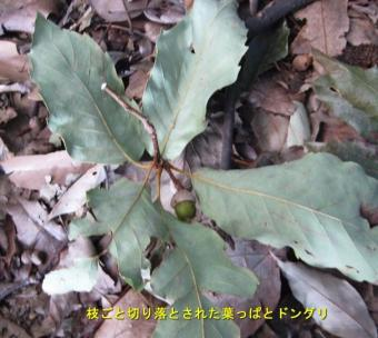 090910_1donguri.jpg
