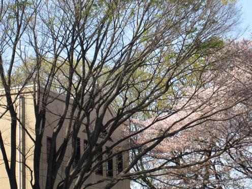 武蔵の桜2