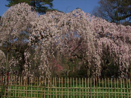 御所枝垂桜1