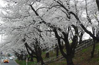4月19日 入学式 八幡平 高松桜 (29)