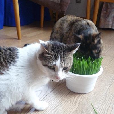 猫草値上げ ④