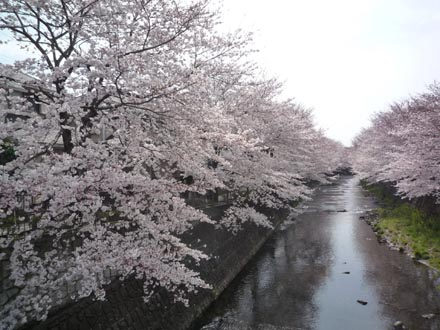 恩田川の桜 09-04-04 ①
