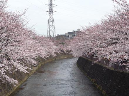 恩田川の桜 09-04-04 ②