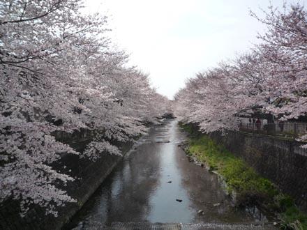 恩田川の桜 09-04-04 ③