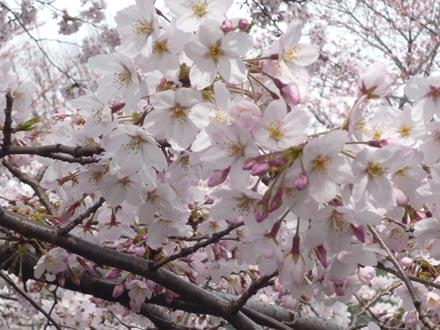 恩田川の桜 09-04-04 ⑤