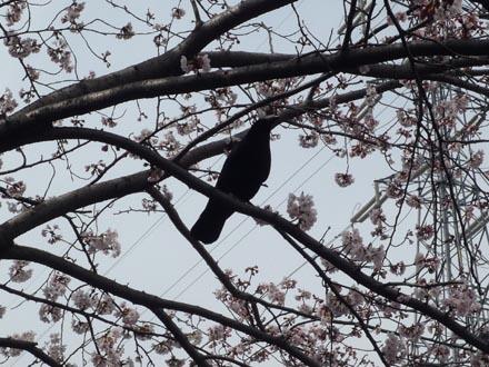 恩田川の桜と烏 09-04-04