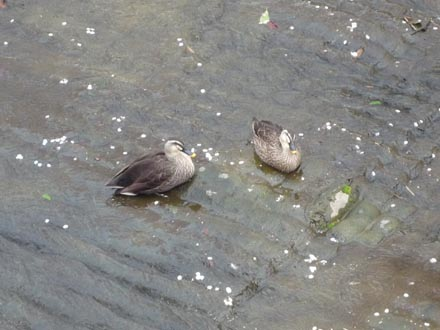 恩田川の桜と鴨 09-04-04 ①
