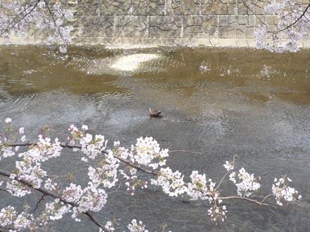 恩田川の桜と鴨 09-04-04 ②