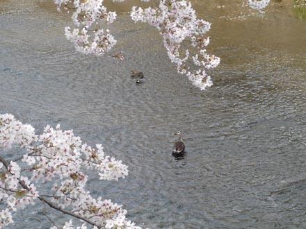 恩田川の桜と鴨 09-04-04 ③